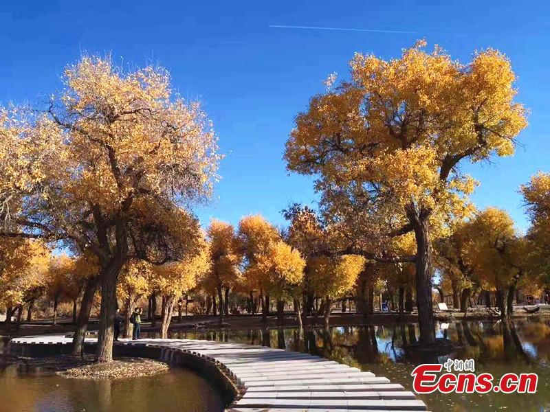 Mid-October is the best time of the year to visit a forest of desert poplar or populus euphratica in Ejina Banner in North China's Inner Mongolia Autonomous Region. With leaves turning yellow, the forest looks like a wonderland. (Photo/China News Serivce)