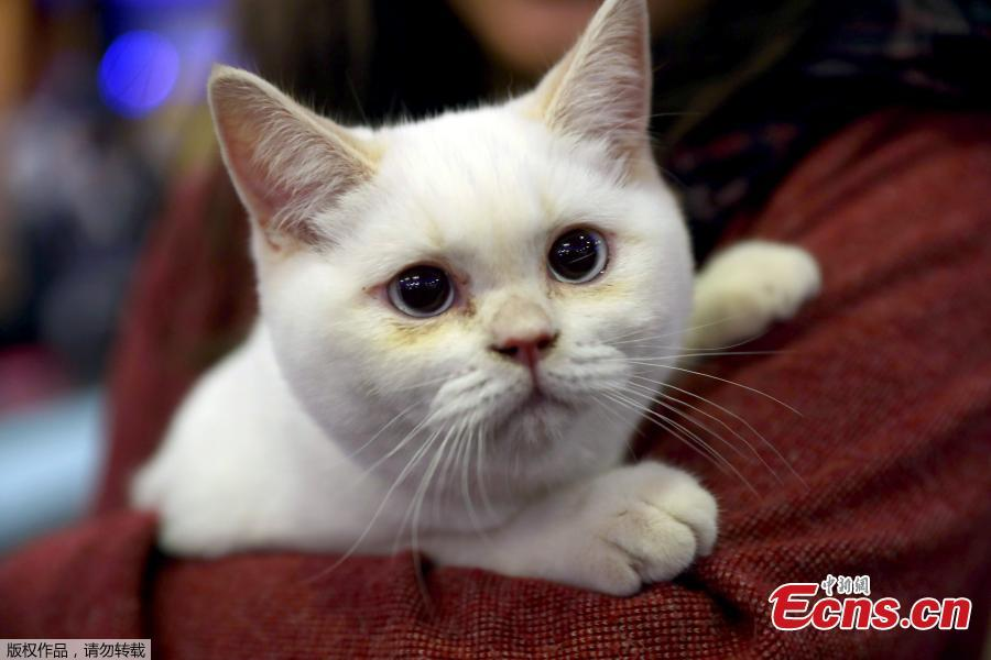 This picture shows a white cat during the 3rd International Pursaklar Cat Beauty Fest\', organized by Pursaklar Municipality, in Ankara, Turkey, October 14, 2018. (Photo/Agencies)