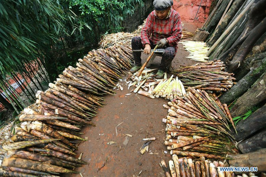 A farmer shells bamboo shoots in Lianhua Village of Baoyuan Township, Chishui, southwest China\'s Guizhou Province, Oct. 14, 2018. There are 1.32 million mu (0.88 million hectares) of bamboo forests in Chishui. The bamboo-related industry has become an income booster for the locals. (Xinhua/Wang Changyu)