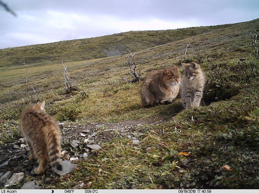 Photo taken by an infrared camera shows a Chinese mountain cat with its kitten in Sanjiangyuan area,Northwest China\'s Qinghai Province, Sept. 19, 2018. The Chinese mountain cat is a wild felid endemic to China that is under second-class national protection. (Photo/Xinhua)