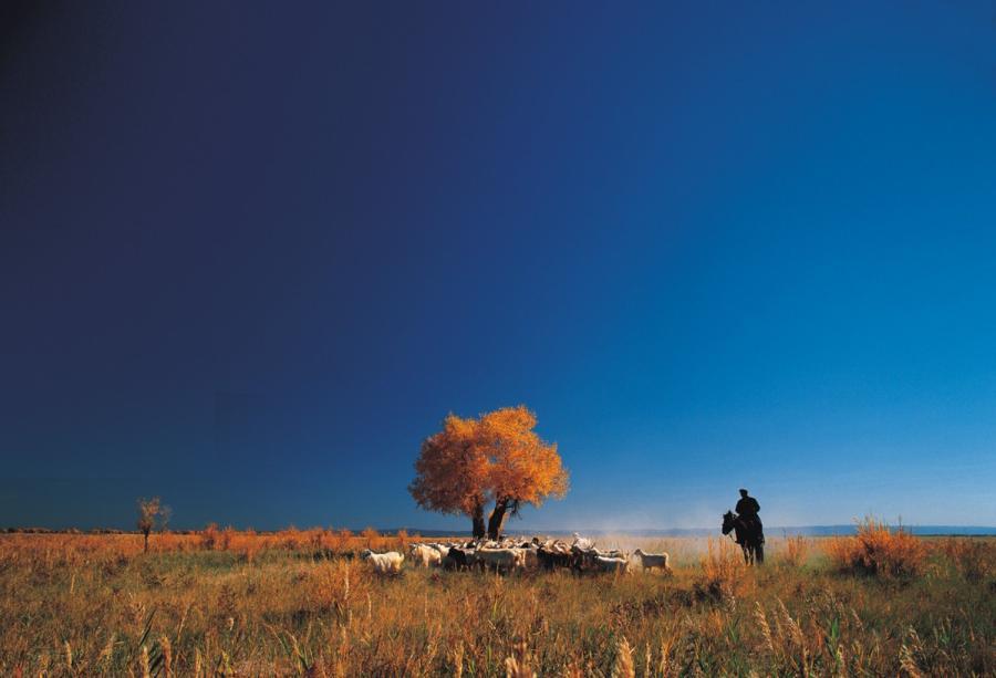 A herd of livestock is near a golden Euphrates poplar tree in Karamay, Xinjiang Uygur autonomous region. (Photo provided to China Daily)