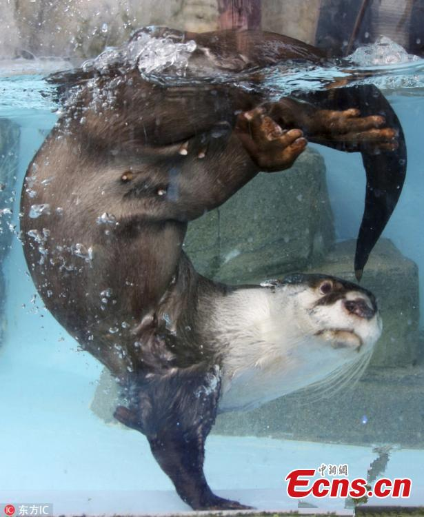 An African clawless otter swims at a water theme park in Mie Prefecture, Japan, Oct. 13, 2018. (Photo/Agencies)