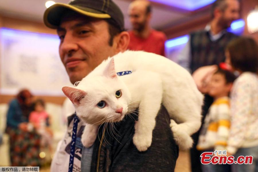 A man carries a white cat on a man's shoulder during the 3rd International Pursaklar Cat Beauty Fest\', organized by Pursaklar Municipality in Ankara, Turkey, October 14, 2018. (Photo/Agencies)