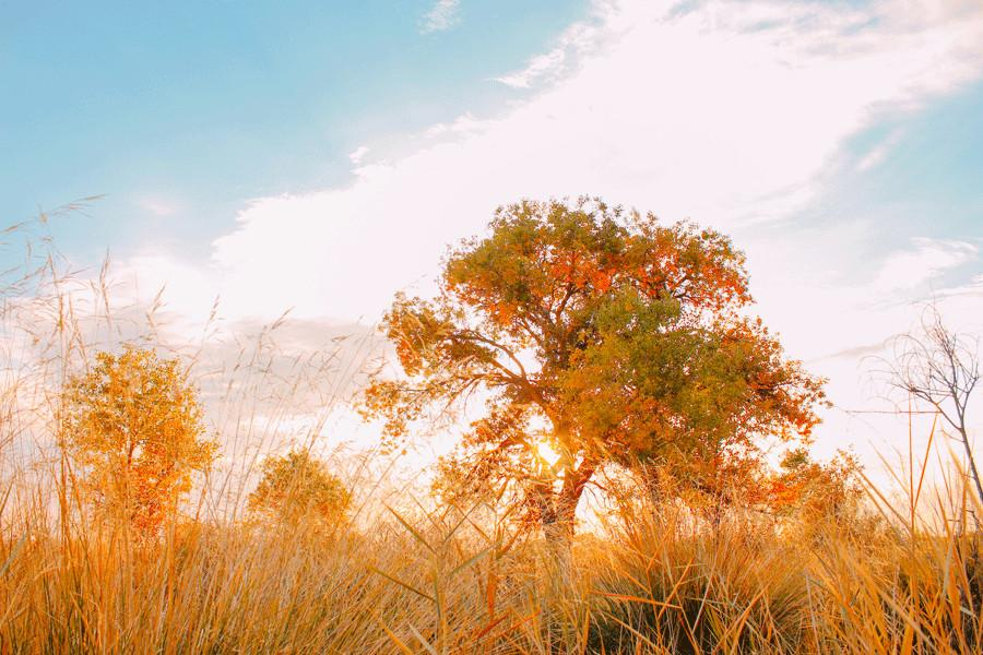 Euphrates poplar trees with golden leaves are seen in Karamay, Xinjiang Uygur autonomous region.(Photo provided to China Daily)