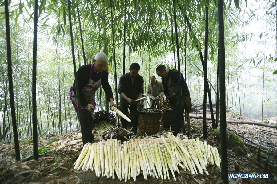 Farmers shell bamboo shoots in Lianhua Village of Baoyuan Township, Chishui, southwest China\'s Guizhou Province, Oct. 14, 2018. There are 1.32 million mu (0.88 million hectares) of bamboo forests in Chishui. The bamboo-related industry has become an income booster for the locals. (Xinhua/Wang Changyu)