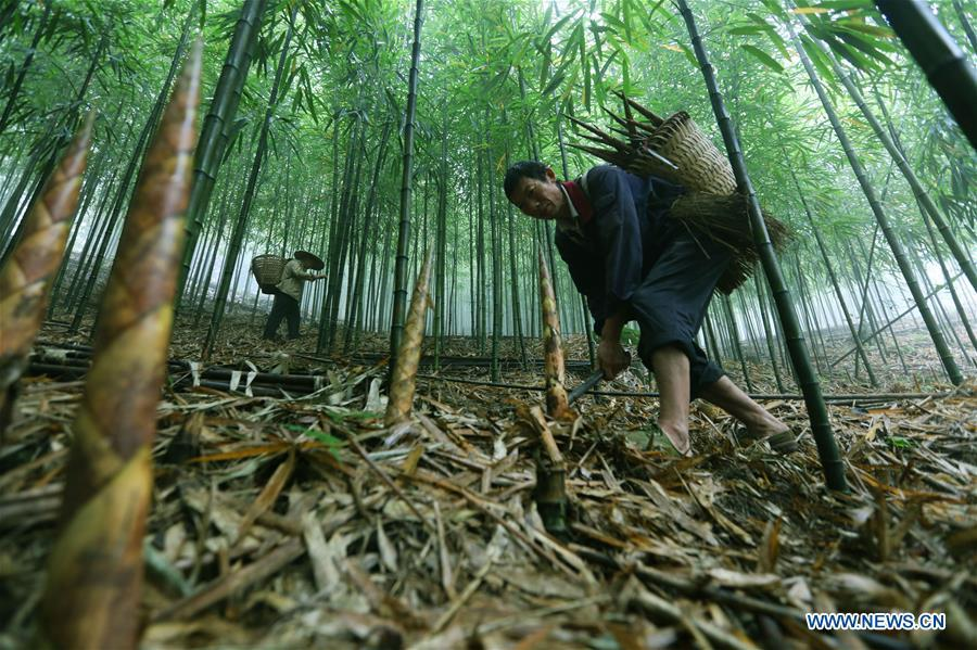 Farmers dig bamboo shoots in Lianhua Village of Baoyuan Township, Chishui, southwest China\'s Guizhou Province, Oct. 14, 2018. There are 1.32 million mu (0.88 million hectares) of bamboo forests in Chishui. The bamboo-related industry has become an income booster for the locals. (Xinhua/Wang Changyu)