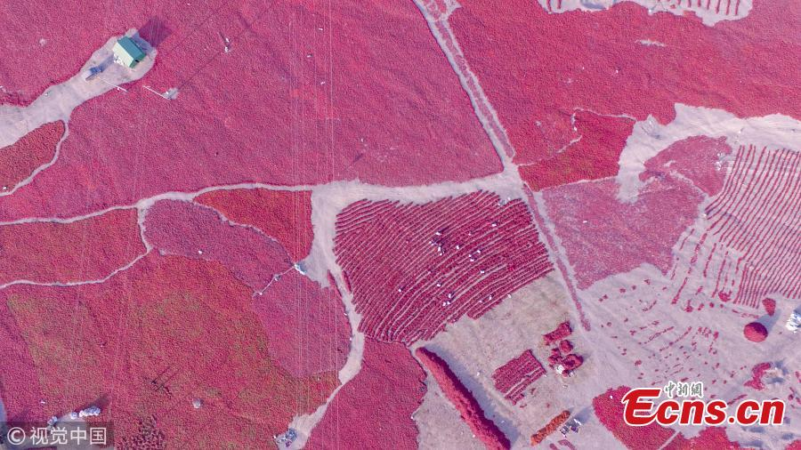 Stretches of chilies air-dry along a road in Kuqa County, Northwest China's Xinjiang Uygur Autonomous Region, in this shot captured by drone. It is the chili harvest season in the region. (Photo/VCG)