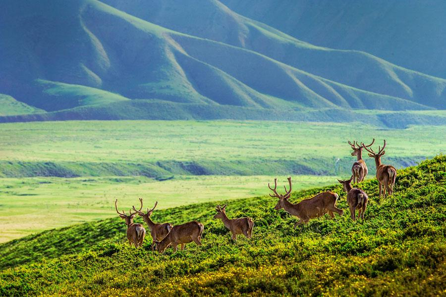 A herd of Red deer is seen at the foot of Qilian Mountain in autumn. They gallop across the field, forage for grass and play, making the area a fairyland. (Photo by Tian Xi/ chinadaily.com.cn)