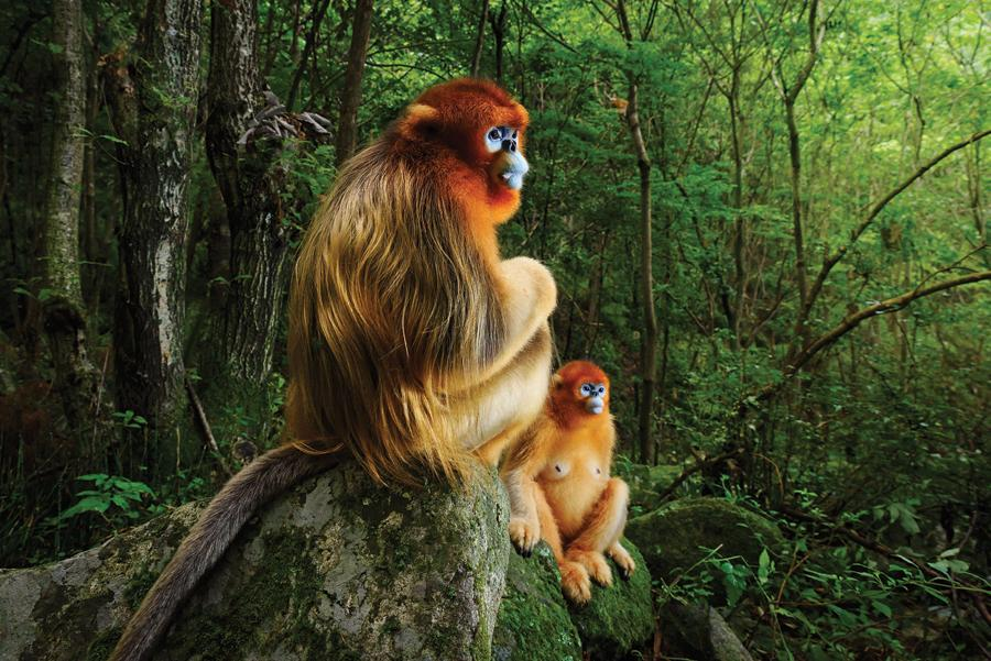 A male and a female golden snub-nosed monkeys looking on as members of their troop fight among the treetops, deep in the Qinling Mountains of Central China. The image wins top prize at this year\'s Wildlife Photographer of the Year Award. (Photo Provided to China Daily)  A photograph of two golden snub-nosed monkeys has won top prize at this year\'s Wildlife Photographer of the Year Award, to the delight of primatologists who hope the image will raise awareness for this threatened Chinese species.  The annual competition is run by the Natural History Museum in London and is the world\'s largest wildlife photography contest. This year, 45,000 entries from 95 countries were judged, and the \