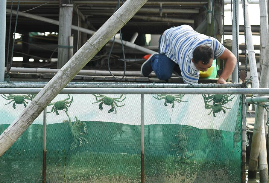 A crab breeder harvests crabs in an aquatic farm on Taihu Lake in east China\'s Zhejiang Province, Oct. 17, 2018. Local farmers were busy with their work in harvest season of the Taihu Lake crab. (Xinhua/Weng Xinyang)