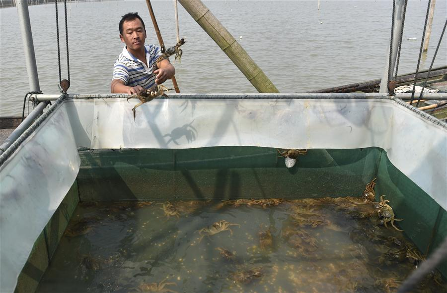 A crab breeder harvests crabs in an aquatic farm on Taihu Lake in east China\'s Zhejiang Province, Oct. 17, 2018. Local farmers were busy with their work in harvest season of the Taihu Lake crab. (Xinhua/Qian Yi)