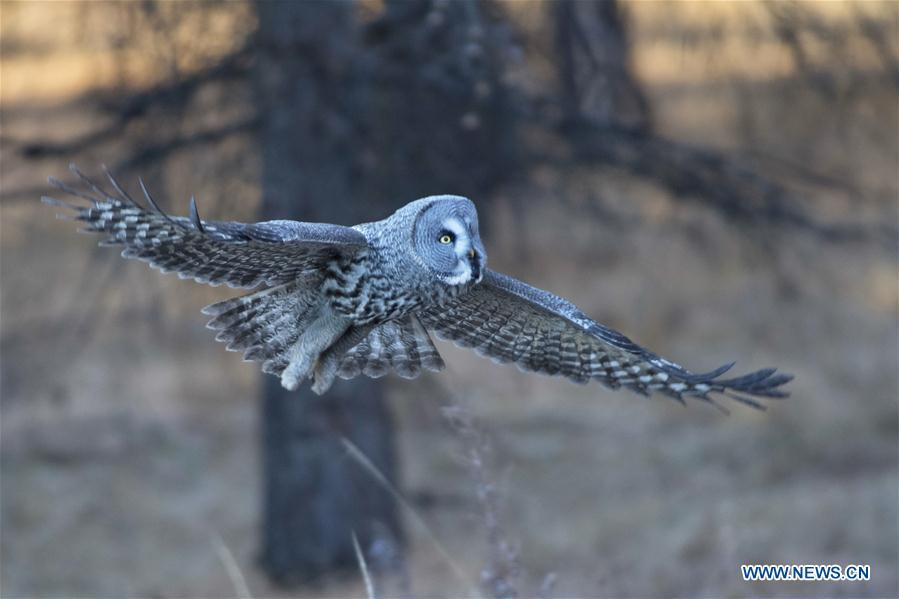 A great grey owl is seen in a forest in Wunu\'er Town of Yakeshi City, north China\'s Inner Mongolia Autonomous Region, on Oct. 17, 2018. Great grey owls are a wild animal under China\'s second-grade protection. (Photo/Xinhua)