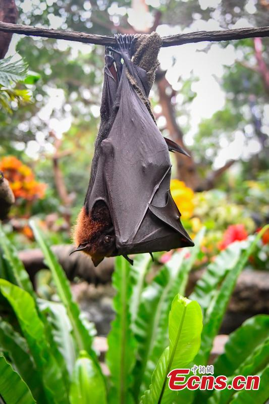 Malayan flying fox, one of the world\'s largest bat species, meet the public for the first time at Chimelong Safari Park in Guangzhou City, Guangdong Province, Oct. 18, 2018. (Photo: China News Service/Chen Jimin)