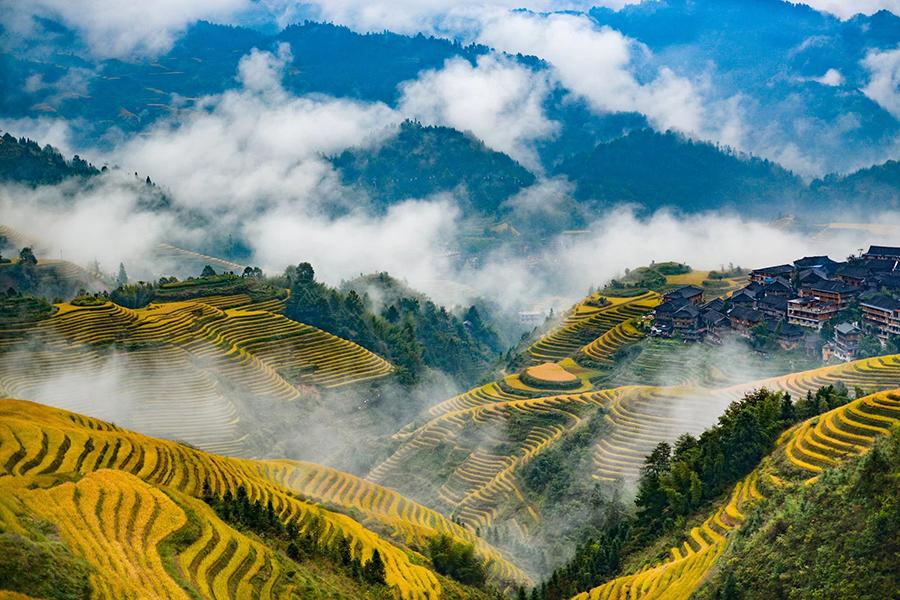 Late autumn is the best time of the year to enjoy the picturesque views of terraced rice fields on the Longji Mountain of Longsheng county, South China\'s Guangxi Zhuang autonomous region. The villagers will harvest the rice next week. Their ancestors started to plant the crop in the terraced fields in late Yuan Dynasty (1271-1368). (Photo by Pan Zhixiang for chinadaily.com.cn)