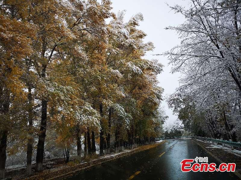 Colorful autumn leaves provide a color contrast to early-season snow as a a cold front hits the Tianshan Tianchi scenic area in Northwest China's Xinjiang Uygur Autonomous Region, as seen in these photos taken on Oct. 17 and 18. (Photo provided to China News Service)