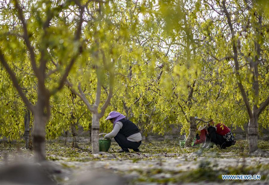 Farmers pick red dates at an orchard in Ruoqiang County of the Mongolian Autonomous Prefecture of Bayingolin, northwest China\'s Xinjiang Uygur Autonomous Region, Oct. 19, 2018. (Xinhua/Zhao Ge)
