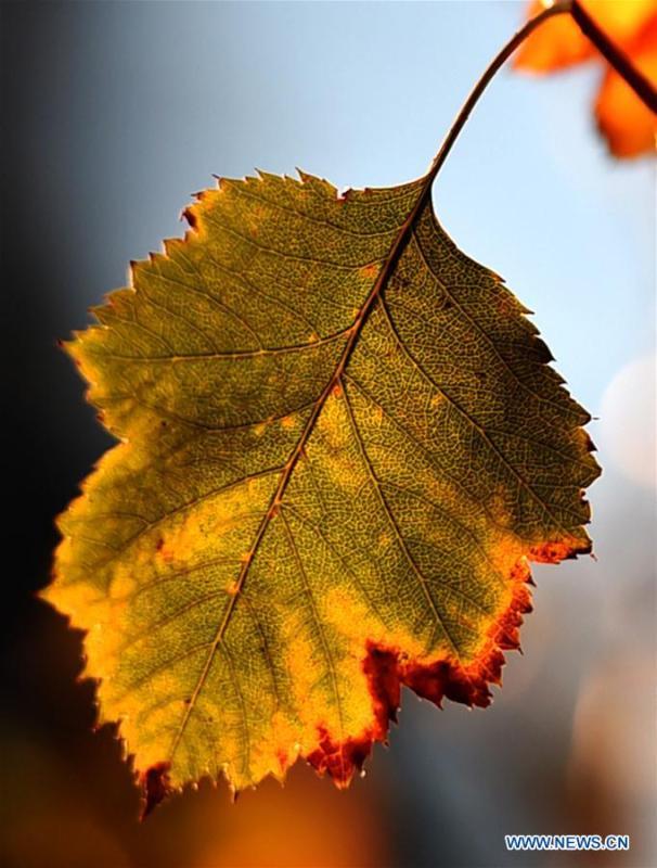 Photo taken on Oct. 18, 2018 shows an autumn leaf at the Slender West Lake scenic spot in Yangzhou City, east China\'s Jiangsu Province. (Xinhua/Zhuang Wenbin)