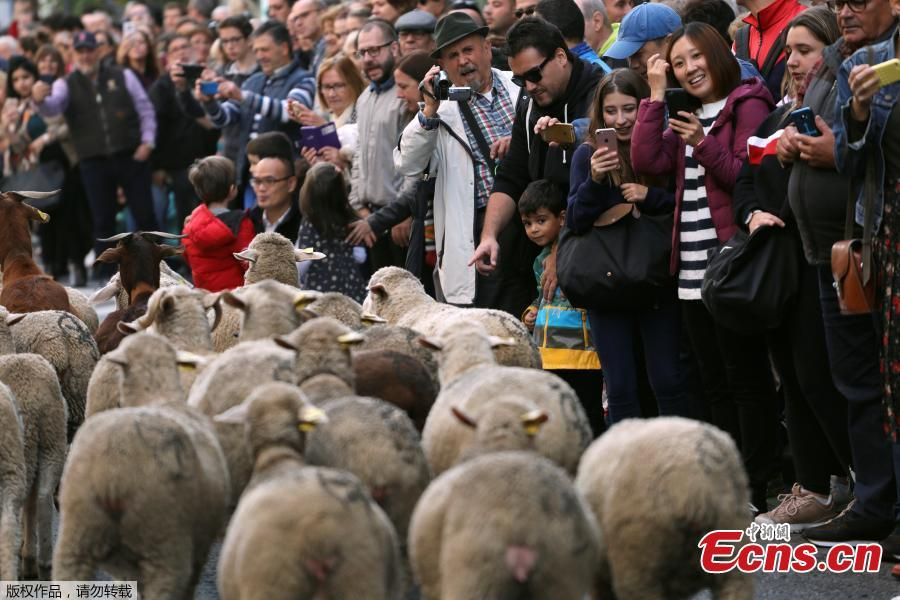 People watch a flock of sheep walk by during the annual sheep parade through Madrid, Spain, October 21, 2018. Shepherds parade the sheep through the city every year in order to exercise their right to use traditional routes to migrate their livestock from northern Spain to winter grazing pasture land in southern Spain. (Photo/Agencies)