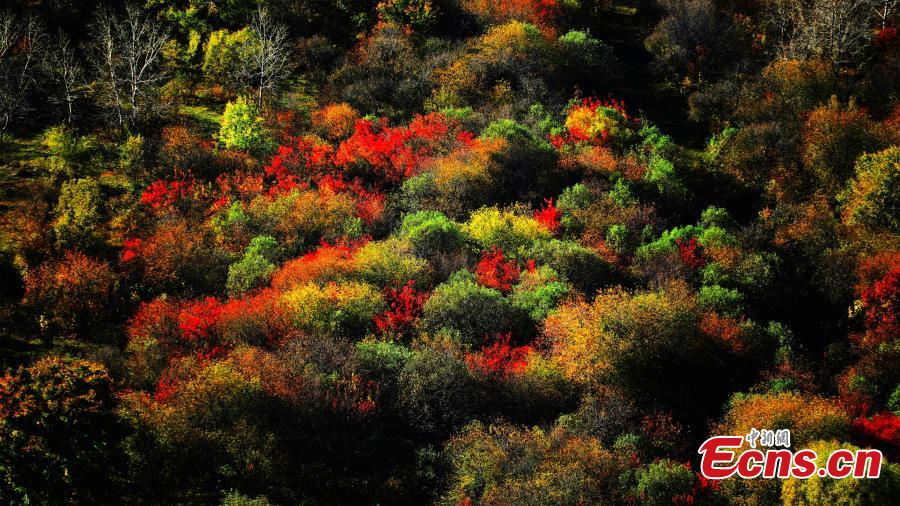A view of the postcard-like autumn scenery at a forest in the Greater Khingan Mountains, Hulun Buir, North China's Inner Mongolia Autonomous Region. Hulun Buir is home to 120,000 square kilometers of forest and 80,000 square kilometers of grassland. (Photo: China News Service/Jiang Xiwu)