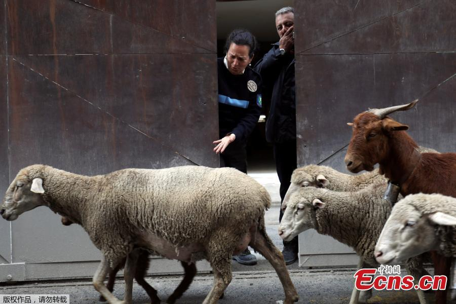 Sheep walk on the streets during the annual sheep parade through Madrid, Spain, October 21, 2018. Shepherds parade the sheep through the city every year in order to exercise their right to use traditional routes to migrate their livestock from northern Spain to winter grazing pasture land in southern Spain. (Photo/Agencies)