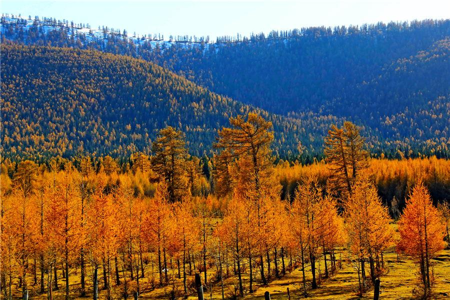 Autumn casts a colorful spell in russet and golden yellow over a forest of pine trees in Kumul, Northwest China\'s Xinjiang Uygur autonomous region. The forest, stretching over 100 kilometers, forms a unique scenery against the snow-covered mountain peaks, Oct. 22, 2018. [Photo/Asianewsphoto)