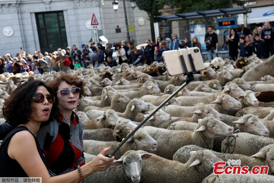 Women take a selfie next to a flock of sheep during the annual sheep parade through Madrid, Spain, October 21, 2018. Shepherds parade the sheep through the city every year in order to exercise their right to use traditional routes to migrate their livestock from northern Spain to winter grazing pasture land in southern Spain. (Photo/Agencies)
