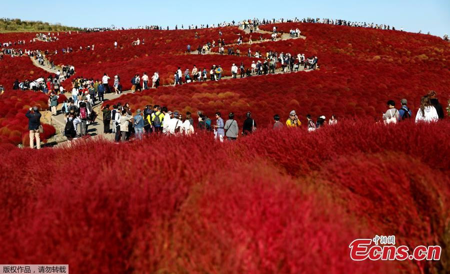A couple take a picture in a field of fireweed, or Kochia scoparia, at the Hitachi Seaside Park in Hitachinaka, Japan, Oct. 22, 2018. Fireweed is a grass bush that takes on a bright red color in autumn. (Photo/Agencies)