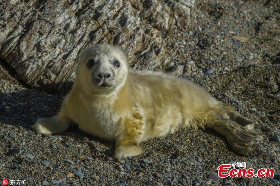 Photo taken by Jonathan Need shows a cute grey seal on a sunny day at Bardsey Island in North Wales. The photographer said the island is home to a population about 200 grey seals. (Photo/IC)