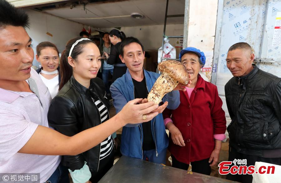 A matsutake mushroom weighing 900 grams is on display at a mushroom market in Kunming City, Southwest China's Yunnan Province. A dealer bought the oversized matsutake for 5,000 yuan ($720) in the province's Weishan Yi and Hui Autonomous County. The matsutake is one of China\'s most prized mushrooms. (Photo/VCG)
