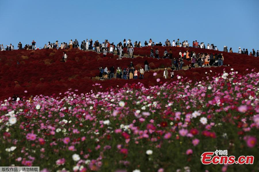 People walk in a field of fireweed, or Kochia scoparia, at the Hitachi Seaside Park in Hitachinaka, Japan, Oct. 22, 2018. Fireweed is a grass bush that takes on a bright red color in autumn. (Photo/Agencies)