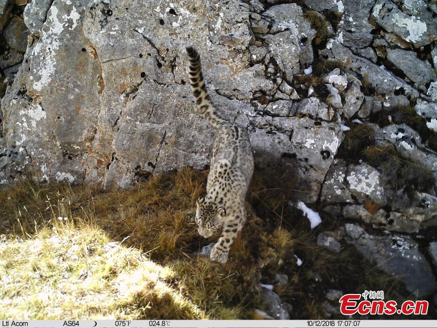 Photos taken by infrared camera and released by the Shanshui Conservation Center in Beijing, on October 23, International Snow Leopard Day, show a snow leopard in the Three-River Source National Nature Reserve (Sanjiangyuan) in Qinghai Province. China is currently home to 60 percent of the world's habitat area of the endangered mountain cat. (Photo provided to China News Service)