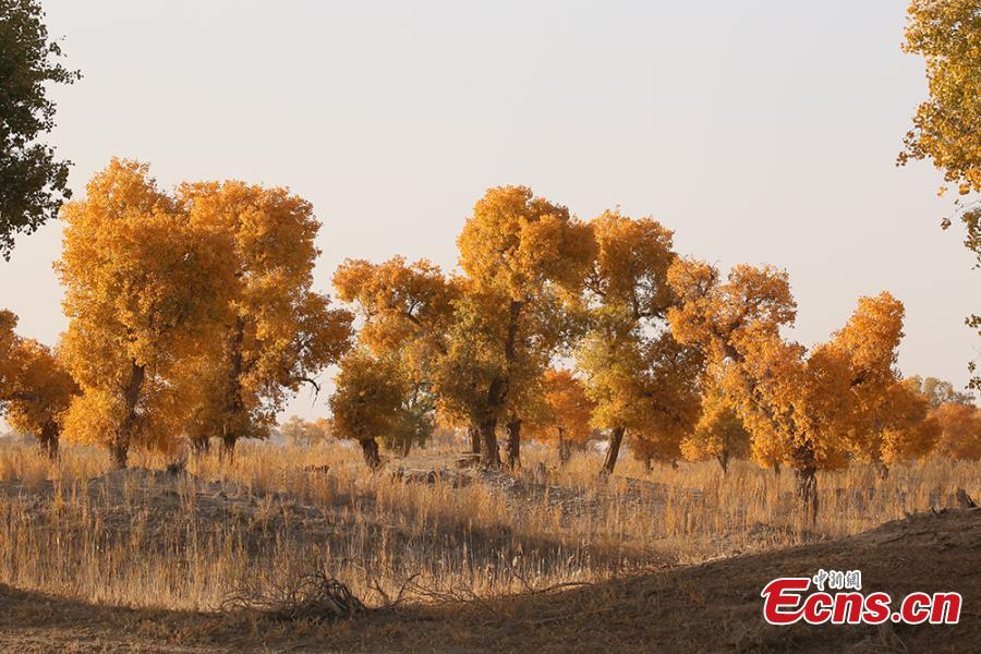 A view of a forest of desert poplar or populus euphratica in the Tarim Basin area under the administration of a unit of the Xinjiang Production and Construction Corps in northwest China's Xinjiang Uygur Autonomous Region. Tarim Basin and neighboring areas are home to a wide distribution of desert poplar, which attracts tourists during autumn for the striking golden hue of its leaves. (Photo: China News Service/Li Xiaoling)
