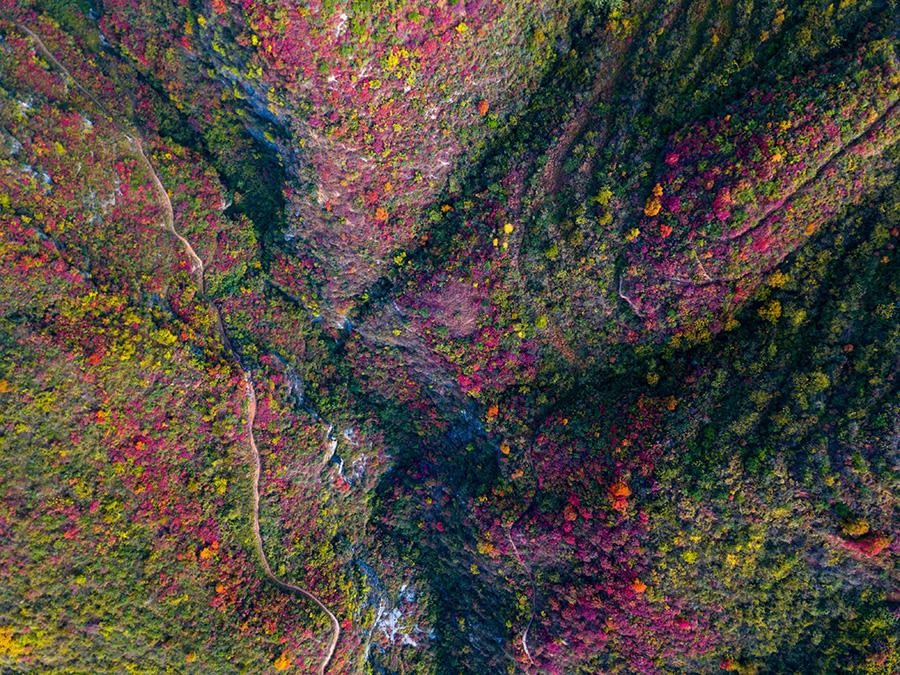 Red leaves brighten autumn scenes in Baokang county, Xiangyang city, Hubei province on Oct 24, 2018. Red leaves are a highlight in autumn landscapes around China, especially in mountainous areas where large expanses of gray and green scenery are decorated with lively color. [Photo by Yang Tao/Asianewsphoto]