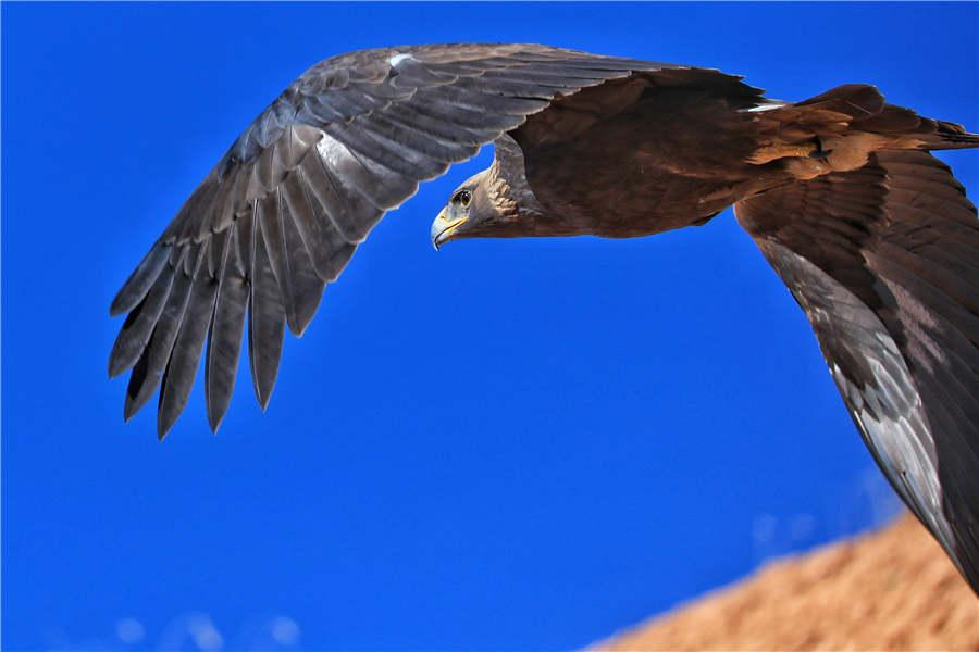 Aquila chrysaetos, or Golden Eagle, a first-level national protected animal. (Photo by Lang Wenrui for chinadaily.com.cn)