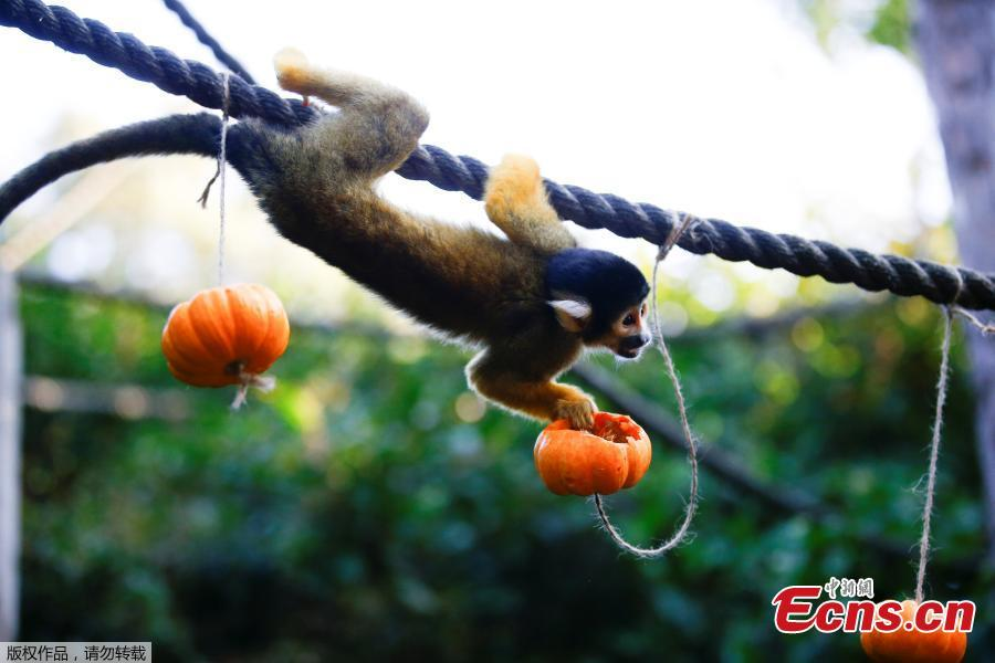 A squirrel monkey interacts with a pumpkin during a photocall at London Zoo in London, Britain, Oct. 25, 2018. (Photo/Agencies)