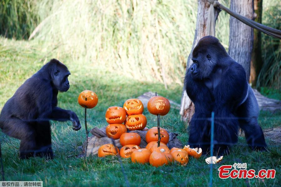 Gorillas interact with pumpkins during a photocall at London Zoo in London, Britain, Oct. 25, 2018. (Photo/Agencies)