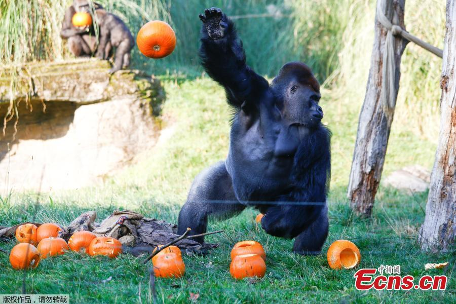 A gorilla interacts with pumpkins during a photocall at London Zoo in London, Britain, Oct. 25, 2018. (Photo/Agencies)