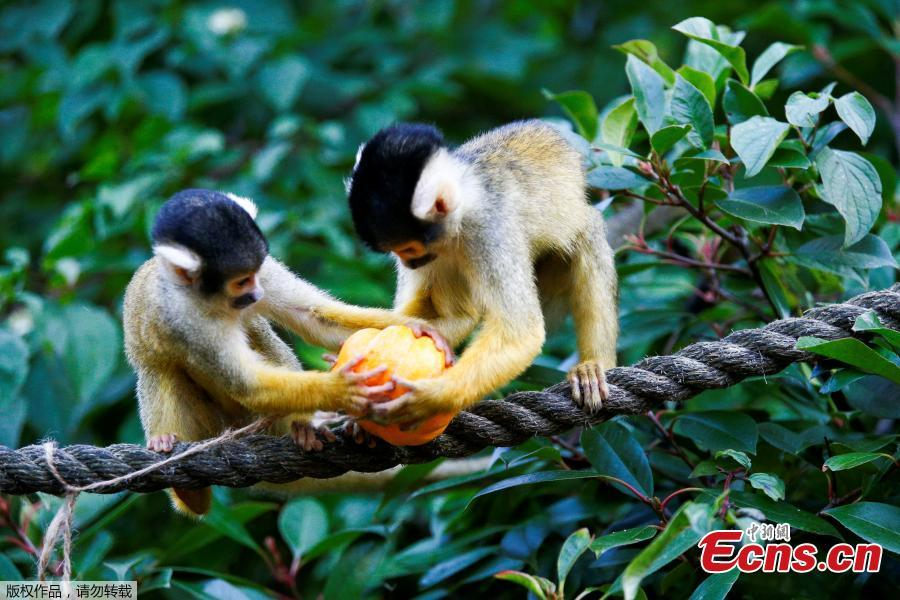 Squirrel monkeys interact with a pumpkin during a photocall at London Zoo in London, Britain, Oct. 25, 2018. (Photo/Agencies)