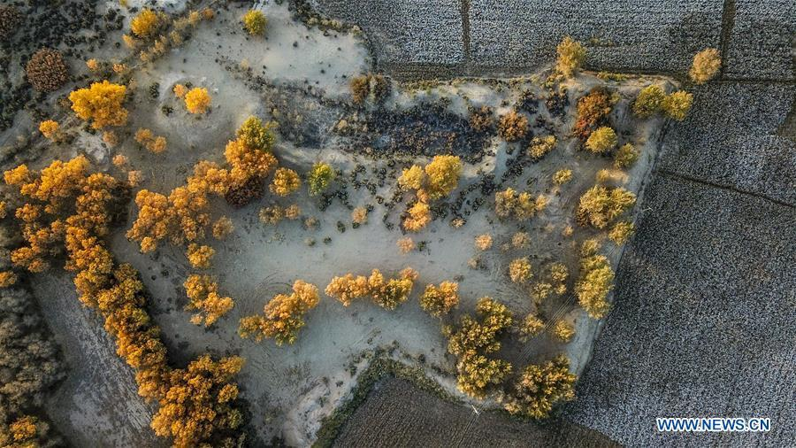Aerial photo taken on Oct. 23, 2018 shows the trees of populus euphratica and cotton field in Dolatbag Township of Bachu County, northwest China\'s Xinjiang Uygur Autonomous Region. (Xinhua/Hu Huhu)