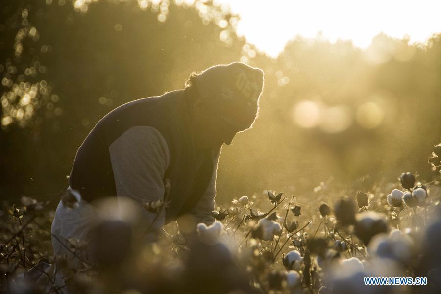 A laborer picks cotton in a field during the autumn season in Dolatbag Township of Bachu County, northwest China\'s Xinjiang Uygur Autonomous Region, Oct. 23, 2018. (Xinhua/Li Zhihao)