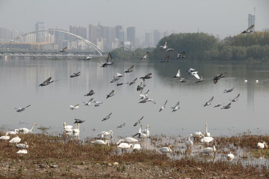 White swans frolic by the waterside at the Sanmenxia Swan Lake National Urban Wetland Park, Oct. 23, 2018. The Yellow River wetland in Sanmenxia, covering an area of 28,500 hectares, accounts for around 42 percent of the total area of the Henan Yellow River Wetland National Nature Reserve. Till Oct. 26 this year, over 500 white swans have migrated there to spend the upcoming winter. (Photo/Asianewsphoto)