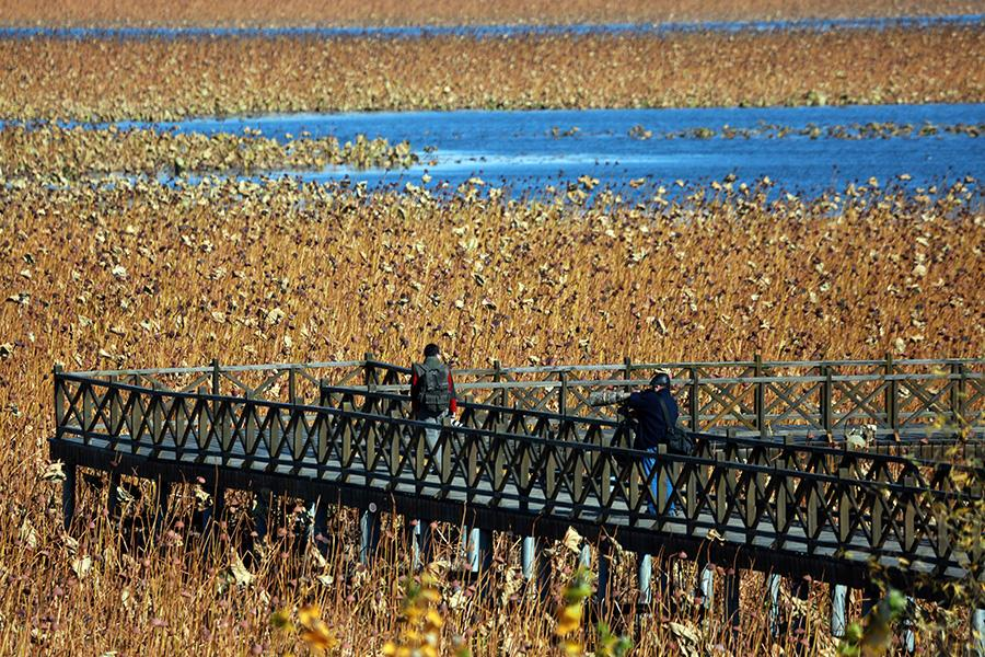 An autumn scene of the Shifosi reservoir in Shenyang city, Liaoning Province, Oct. 27, 2017. Acres of lotus flowers, though having withered away after the blossoming season, are still luring visitors as the sight presents a sense of tranquil beauty. (Photo/Asianewsphoto)