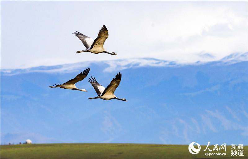 Late autumn is when Zhaosu, a county-level city in northwest China\'s Xinjiang Uygur Autonomous Region, attracts large numbers of migratory birds including grey cranes, wild ducks and swans thanks to its favorable ecological environment. The city is praised as \