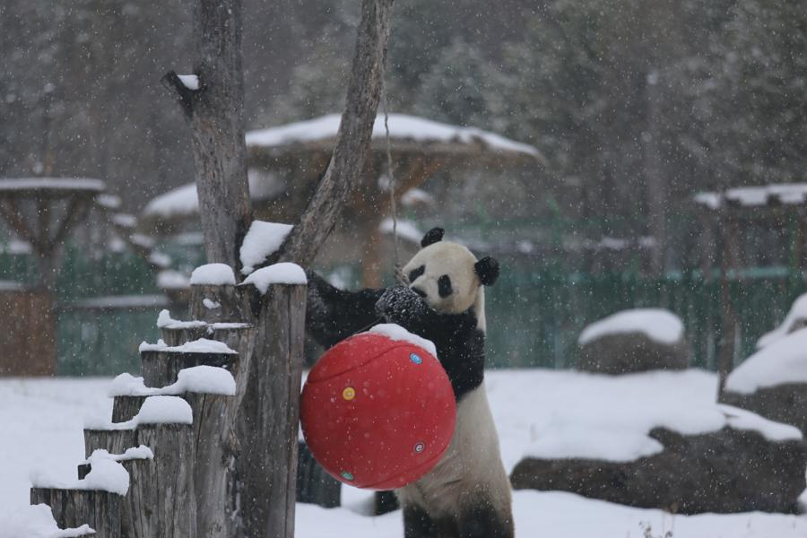 A panda plays in snow in northeastern China\'s Heilongjiang Province on Oct. 27, 2018. (Photo provided to chinadaily.com.cn)