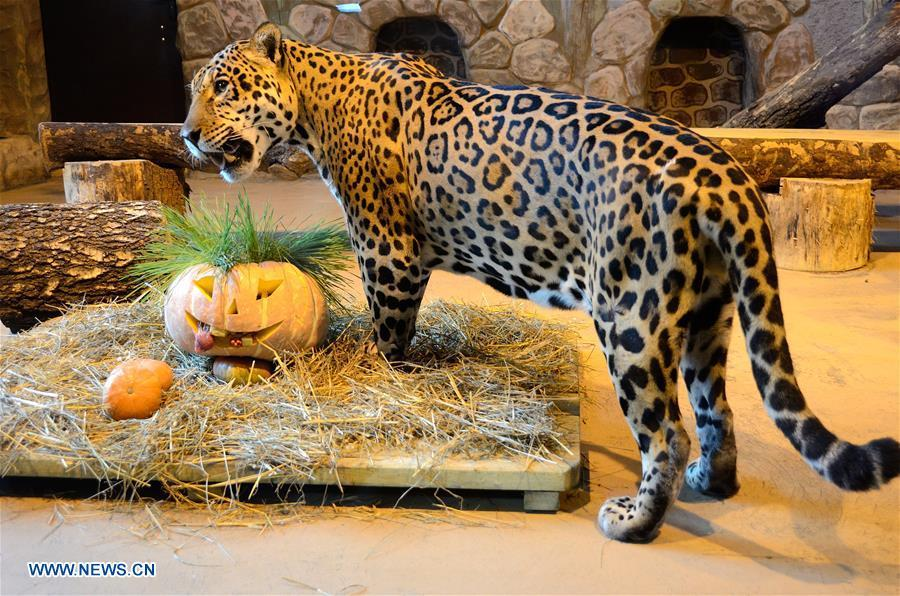 <?php echo strip_tags(addslashes(A jaguar eats its breakfast in Nizhny Novgorod, Russia, on Oct. 30, 2018. Zoo