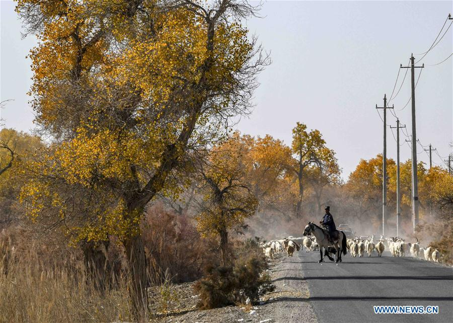 A shepherd grazes sheep around desert poplar trees in Yuli County sitting in the middle and lower reaches of Tarim River, northwest China\'s Xinjiang Uygur Autonomous Region, Oct. 25, 2018. The Tarim River, China\'s longest inland river, runs 1,321 kilometers along the rim of the barren Tarim Basin. Xinjiang has infused 7 billion cubic meters of water to the dry trunk stream of the lower reaches of the Tarim River in 18 rounds of water diversion since 2000, making the local forest of desert poplar a tourist attraction. (Xinhua/Zhao Ge)