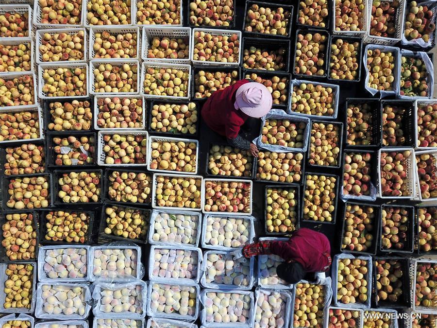 Farmers arrange peaches in Tianganghu Township of Sihong County, east China\'s Jiangsu Province, Oct. 30, 2018. (Xinhua/Xu Changliang)