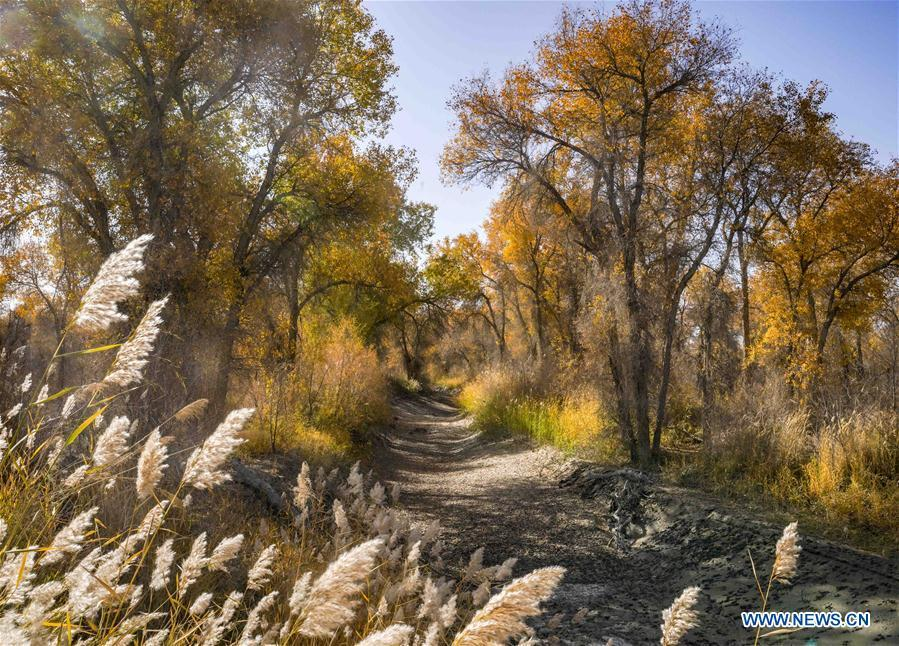 Photo taken on Oct. 25, 2018 shows desert poplar trees along a road in Luntai County sitting in the middle and lower reaches of Tarim River, northwest China\'s Xinjiang Uygur Autonomous Region. The Tarim River, China\'s longest inland river, runs 1,321 kilometers along the rim of the barren Tarim Basin. Xinjiang has infused 7 billion cubic meters of water to the dry trunk stream of the lower reaches of the Tarim River in 18 rounds of water diversion since 2000, making the local forest of desert poplar a tourist attraction. (Xinhua/Zhao Ge)
