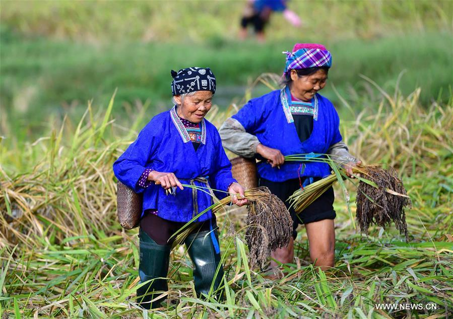 Farmers of the Miao ethnic group harvest purple glutinous rice at Yuanbao Village in Antai Township in Rongshui Miao Autonomous County, south China\'s Guangxi Zhuang Autonomous Region, Oct. 30, 2018. Farmers are busy harvesting purple glutinous rice in Antai, where a production mode that incorporates cooperatives, planting bases and individual farmers has helped the locals out of poverty. (Xinhua/Wu Jianlu)