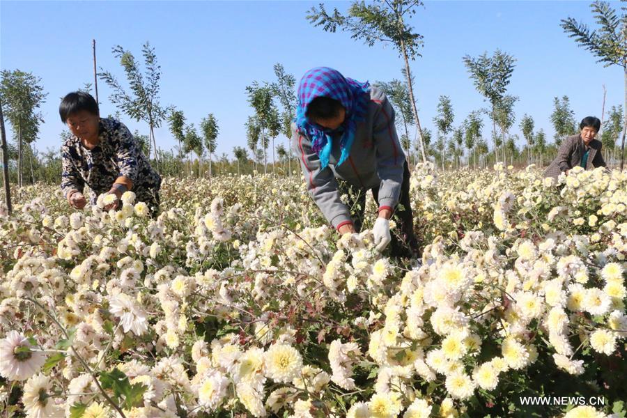 Farmers pick flowers of chrysanthemum morifolium in Wudi County of Binzhou City, east China\'s Shandong Province, Oct. 30, 2018. (Xinhua/Jiang Huiqing)